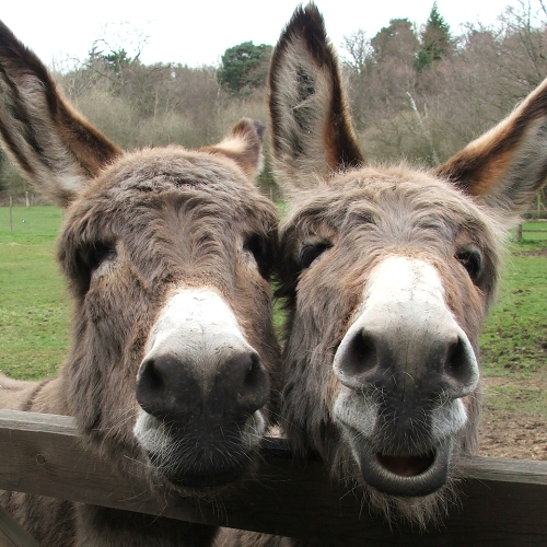 Call for volunteers at the world's largest Donkey Sanctuary