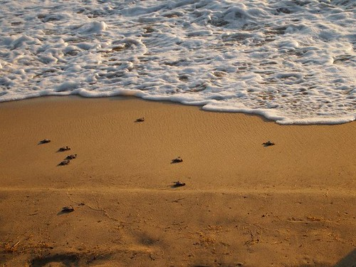 Baby turtles crawl to the Mexico Ocean | by Grand Velas Riviera Nayarit