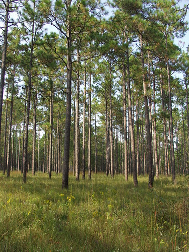 Well Managed Longleaf Pine with Good Understory | by USFWS/Southeast