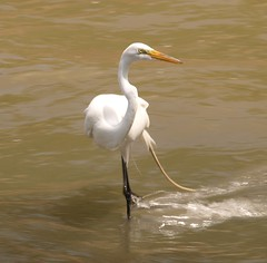 Great Egret: Fashion show! by shotup