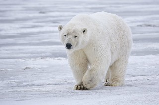 Polar_Bear_-_Alaska | by rubyblossom.