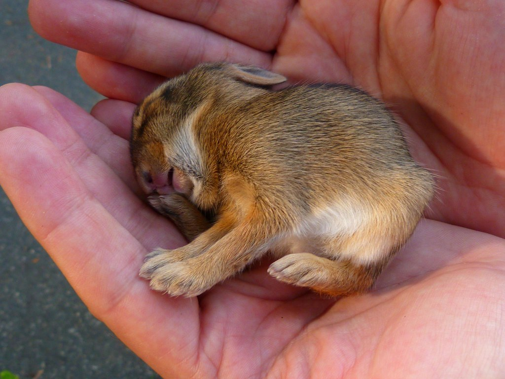 Baby cottontail rabbit - photo#15