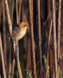 Golden-headed Cisticola | by Nash DiDi