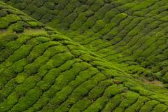tea plantations by Kuba Abramowicz