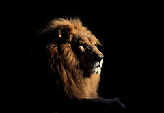 Proud Old Lion by scb.mypics