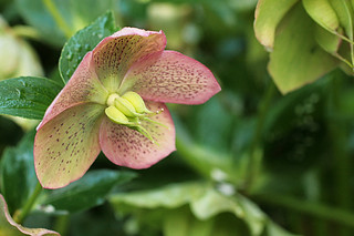 Hellebore | by Toni Fish