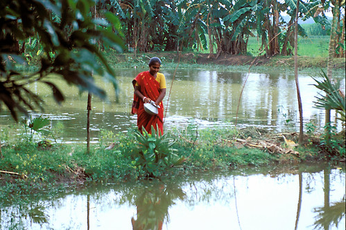 Basonthi Audhikary, a fish farmer in Bangladesh feeds the fish in her pond with rice bran. Photo by Ebbe Schioler, 2002.