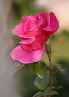 IN GARDEN ROSE PINK | by *..AC.Reb..*