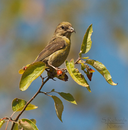 Red crossbill, female | by Through The Big Lens