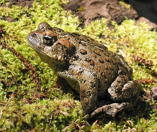Western toad | by Oregon State University