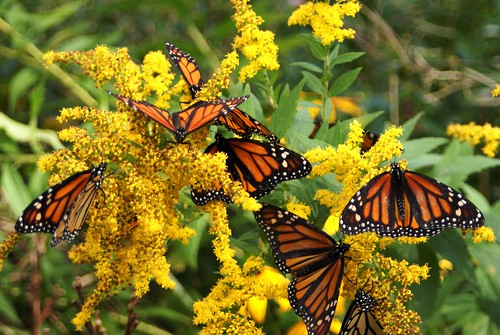 Monarch Butterflies released after the monarch festival feast on flowers before flying off - photo courtesy of Terry Lebaron