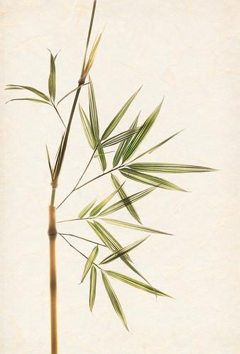 Variegated Bamboo