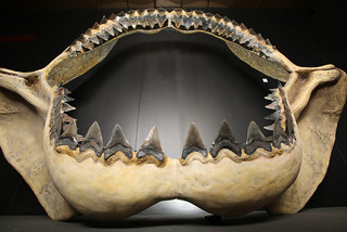 Megalodon Jaws | by Houston Museum of Natural Science