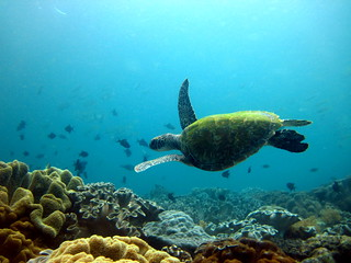 green turtle | by Bernard l Hermite