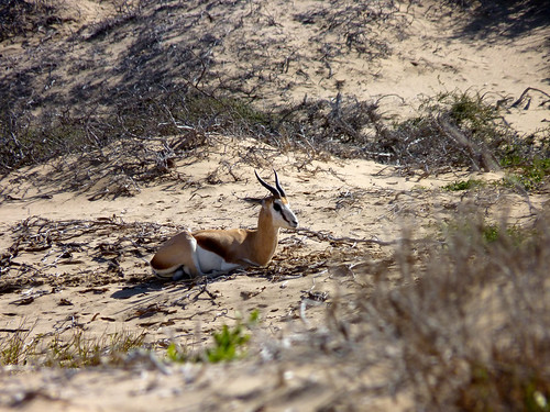 Springbok on the beach