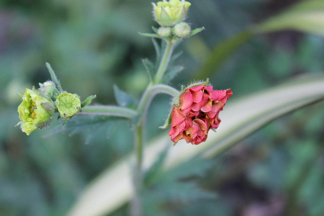 Geum unfurling