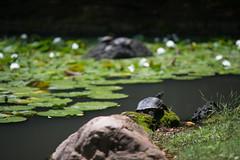 Turtle taking sun bathing at Koishiakwa Korakuen, Tokyo Japan