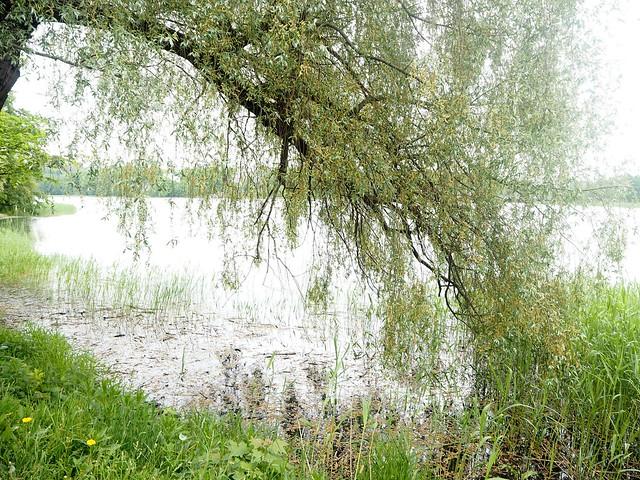suomenluontoP5265278, luonto, nature, vihreä luonto, green nature, siniset järvet, blue lakes, birch trees, vihreät koivut, kedon kukat, wild flowers, smells, tuoksut, äänet, noices, those summer nights, ne kesäyöt, inspiration, summer, kesä, life,