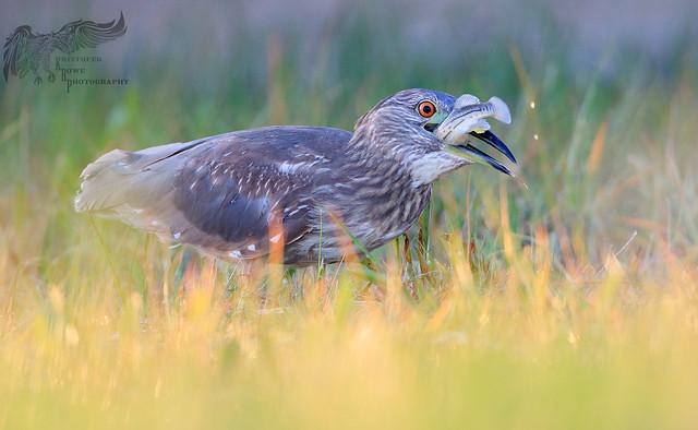 Juvenile Black Crowned Night Heron 5_31 1
