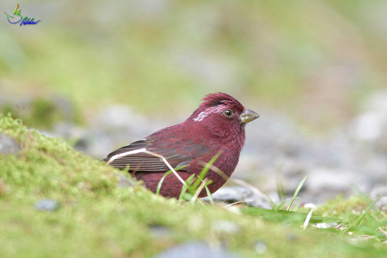 Vinacceus_Rose_Finch_5649
