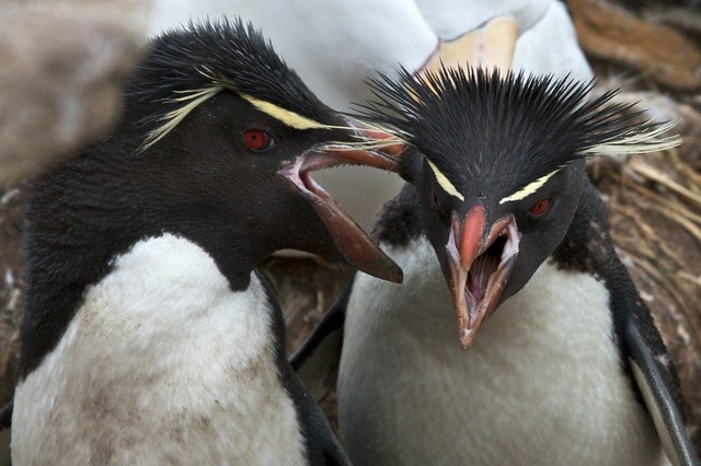 Rock Hopper Penguins, New Island, Falklands