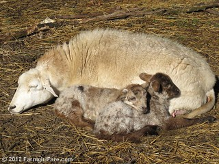 Friday random lamb photos 2 - FarmgirlFare.com | by Farmgirl Susan