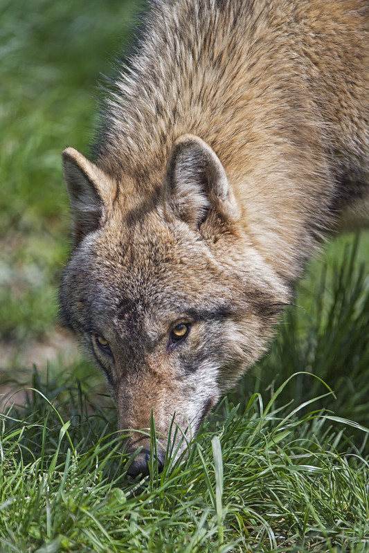 Wolf sniffing the grass