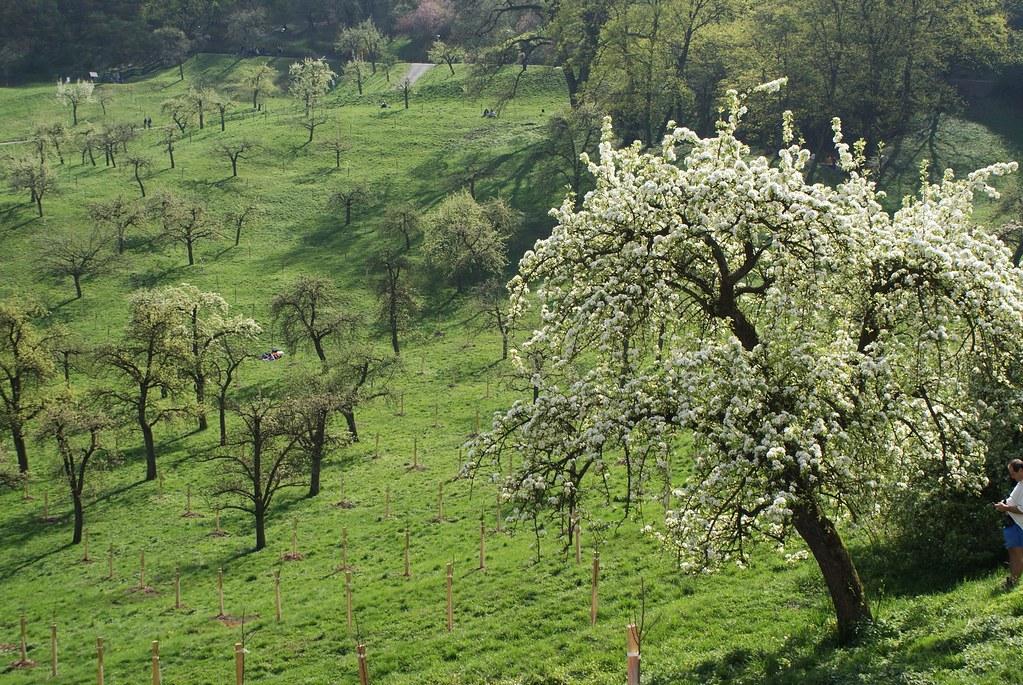 > Pommiers en fleurs au printemps à Prague. Toute la colline de Petrin se pare de fleurs. Un spectacle magnifique.