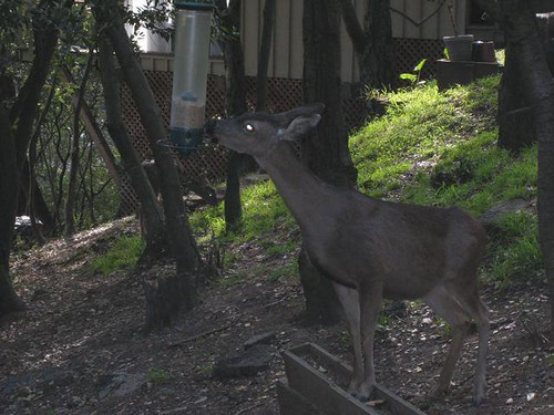 1deer at feeder susan russell oak | by Contra Costa Times