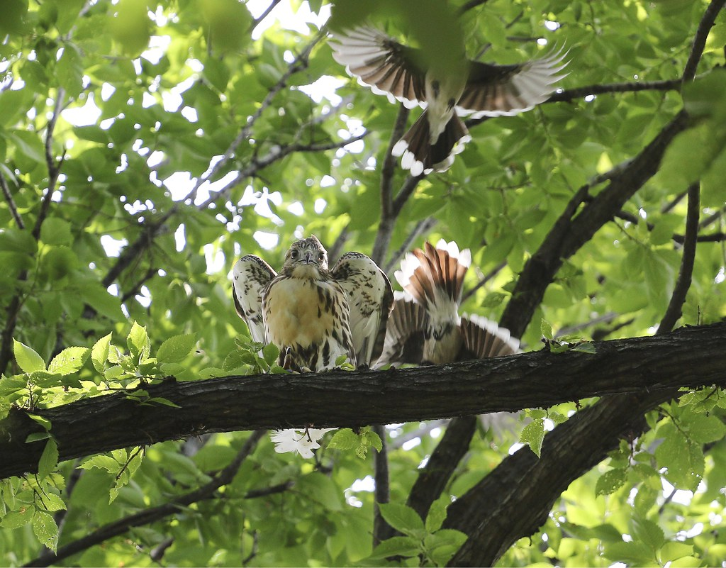 Fledgling hawk bullied by two blue jays