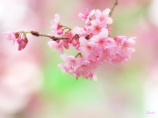 Cherry blossoms | by LuciaLin