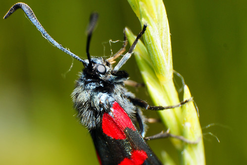 Red and Black moth | by Curufinwe - David B.