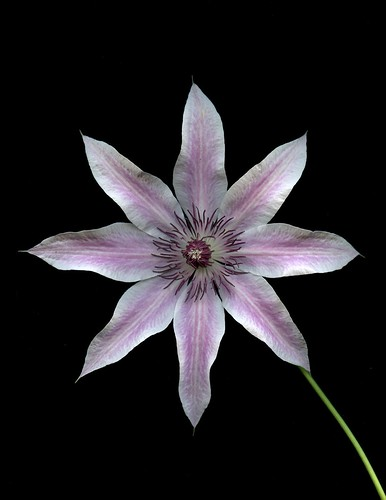 54376-01 Clematis 'Lincoln Star' | by horticultural art