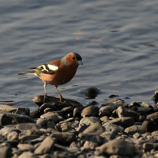 Chaffinch | by lakeslover2010