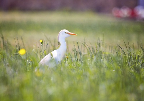 Cattle Egret | by Daniel Cadenhead