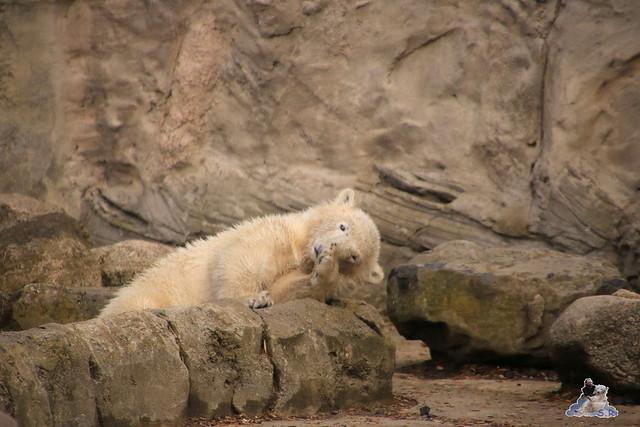Eisbär Lili im Zoo am Meer 15.05.2016  68