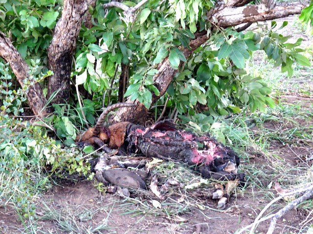 Lion Sands Safari Day 3- Dead Nyala