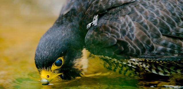 Peregrine Falcon_2
