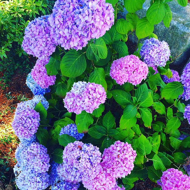 Brenna's big bright hydrangea bush. 💜💖