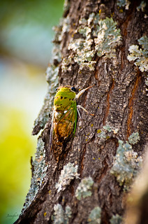 cicada | by Jennifer Witherspoon