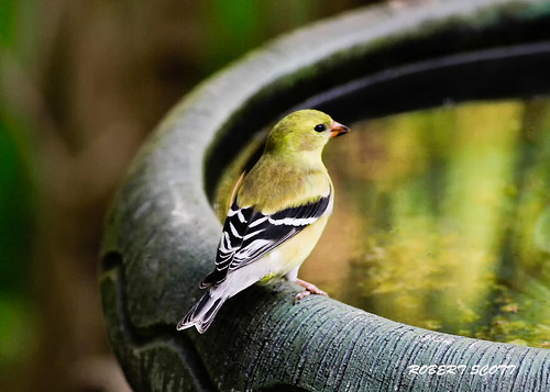 American Goldfinch | by Robert Scott Photographyy