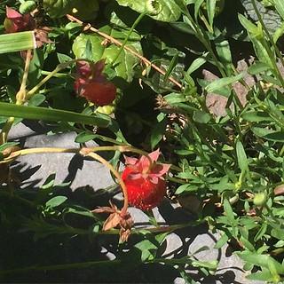 #strawberries  I ate them.