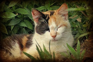 Pretty Calico Cat PicMonkey Papyrus Textured 004 | by Chrisser