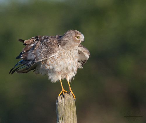 Northern harrier, male | by Through The Big Lens