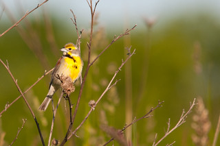 Dickcissel | by Paul Sparks