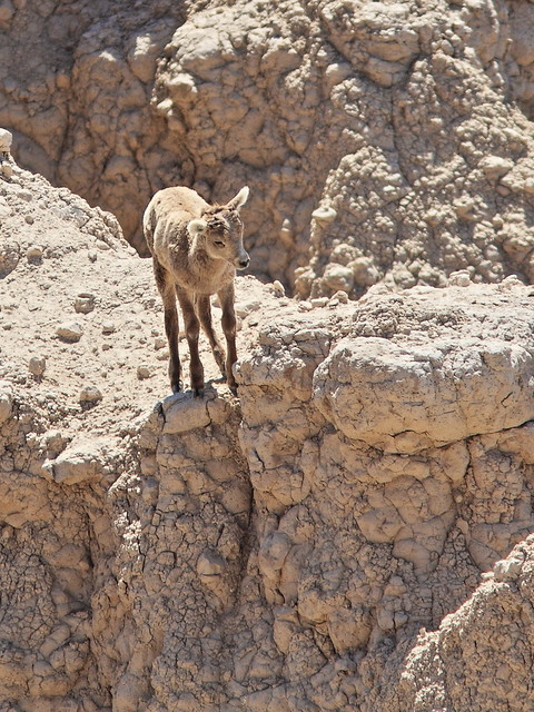 Bighorn lamb decides not to jump 20160618