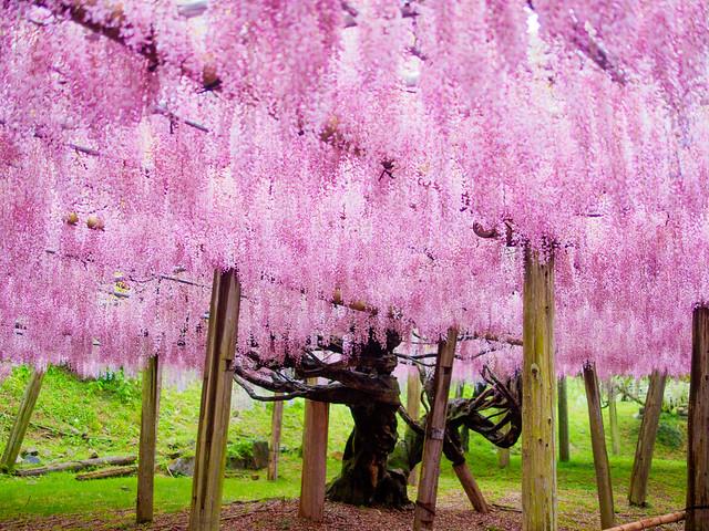 河内藤園(北九州) Kawachi Fuji Gardens in Kitakyushu, Fukuoka, Japan