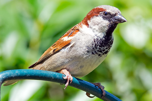 House Sparrow | by Brian E Kushner