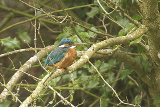Kingfishers | by charliejgr (im back)