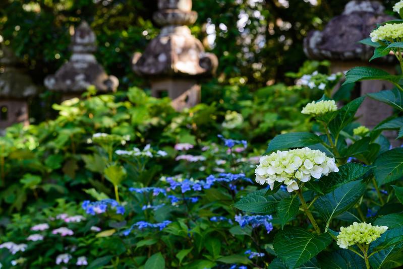 大神山神社 紫陽花 2016.6-26